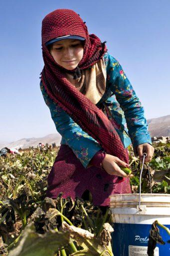 child_labor_Lebanon_agriculture_zucchini_girl_syrian_pickingkousa_AlDalhamaya_7